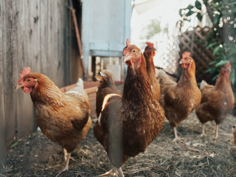 Picture of chickens