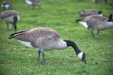 image of geese milling around on short grass