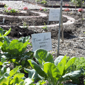 Image of produce growing at the Thomas-Anderson Memorial Garden