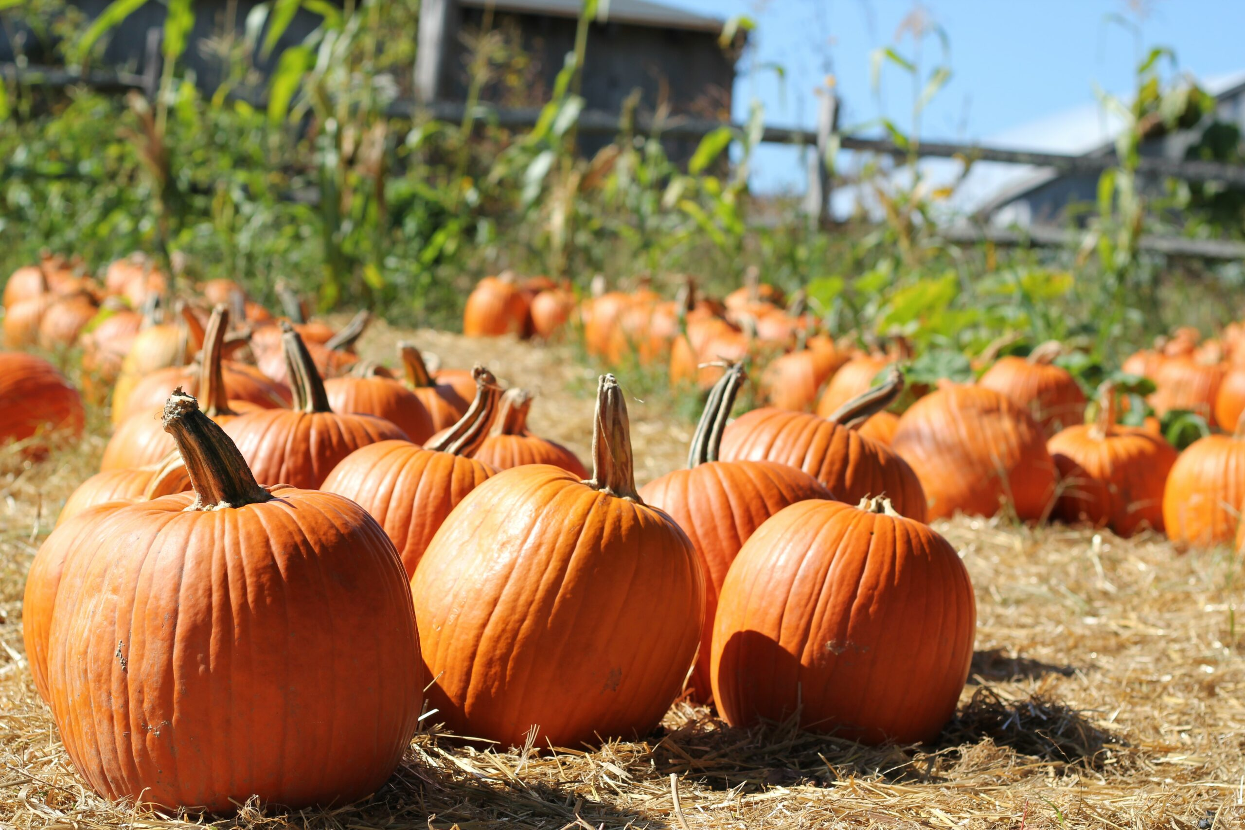 Photo of orange pumpkins on brown grass on a sunny day.